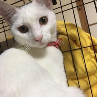 真っ白な猫ユキちゃん
