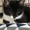 白黒仔猫 おっとり癒し系女の子 4ヶ月 アユミ サムネイル6