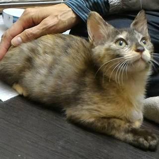 柔らかな色合いのサビ猫、膝乗り甘えん坊ティアラ