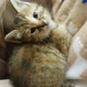 ムギワラ猫1.5ヶ月メス