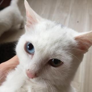 綺麗なオットアイの仔猫ちゃんです!