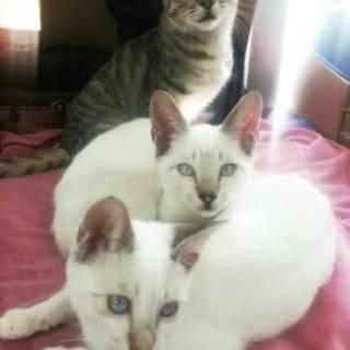 4匹の兄弟 シャム柄 キジ 黒猫