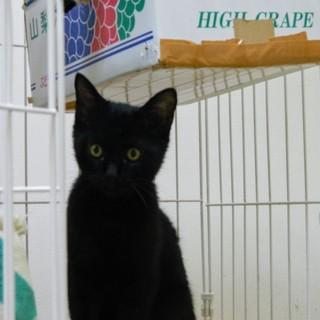 つぶらな瞳の黒猫5ヵ月♀