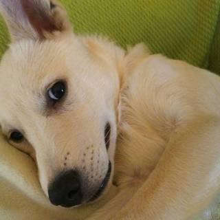 超甘えん坊の白い仔犬5ヶ月のチビくん