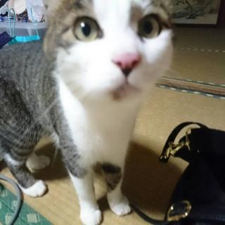【里親募集】成猫キジシロ オス (