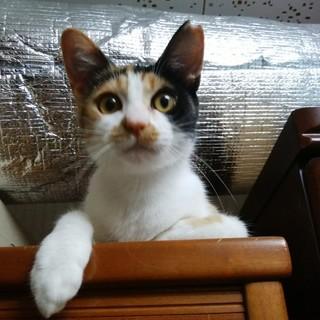甘えたい盛りの三毛猫ちゃん
