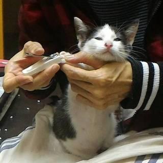 爪切りOK!肩乗りハチワレのトイちゃん!