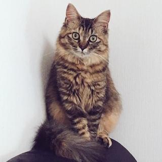 成猫 女の子 2歳 長毛