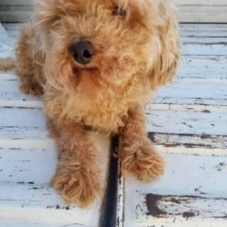 【繁殖所引退犬】めちゃ可愛♂3歳のトイプー男の子♂