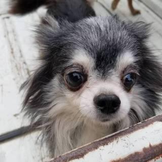 【繁殖所引退犬】高齢者可!可愛い8歳のチワワ♀