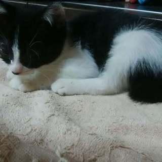 保護猫(2ヶ月半)もらってください❗