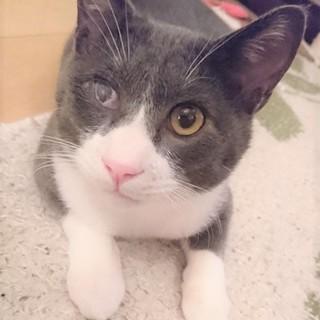 猫初めて可★洋猫Mixグレー白の超なつっこい幼猫
