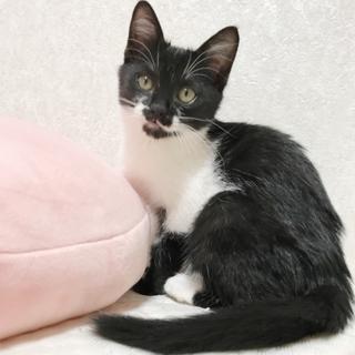 人が大好き!甘えん坊な美猫メロちゃん(2ヶ月)