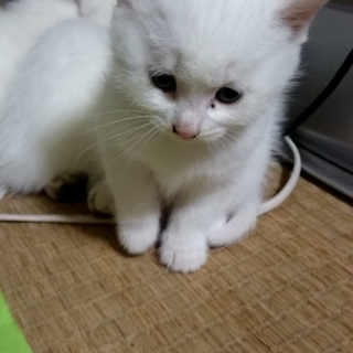 子猫(白)里親募集です!
