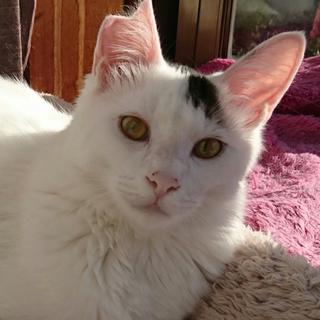 長毛猫MIXハク♥猫初心者向け8ヶ月