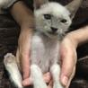 シャム猫柄のおっとり系2ヶ月シャーム君 サムネイル2