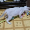 シャム猫柄のおっとり系2ヶ月シャーム君 サムネイル3