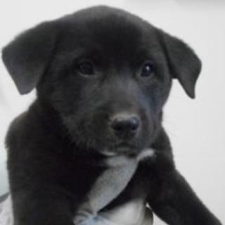 里親さんを待っています。子犬 ♂約2カ月 黒