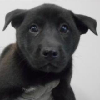 里親様を待っています。子犬♀約2カ月 黒