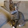 生後約3か月甘えん坊なキジシロの男の子です