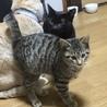 オチャメな男の子☆キジ猫アテナくん サムネイル4