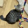 オチャメな男の子☆キジ猫アテナくん サムネイル2