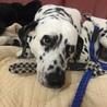 ダルメシアン神奈川県の Tさんの愛犬になりました。