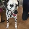 ダルメシアン神奈川県の Tさんの愛犬になりました。 サムネイル2