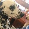 ダルメシアン神奈川県の Tさんの愛犬になりました。 サムネイル3