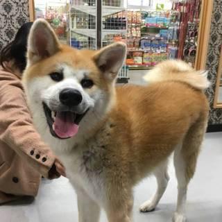 【秋田犬♂】8ヶ月の子犬