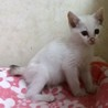白グレーの美猫ちゃんです。