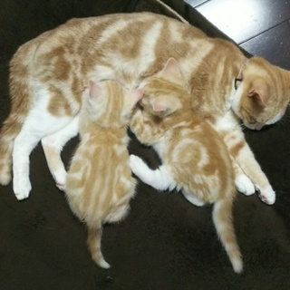 """""""募集停止""""マンチカンの足長 子猫の兄妹です。"""