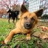 お顔はりりしいですが…よく遊ぶ、賢い子犬です サムネイル3