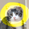 4ヶ月長毛猫MIX♡ぬいぐるみ猫トパーズキジ白