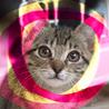メス2ヶ月♡キジトラ甘えん坊抱っこ猫ローラ