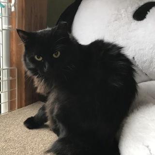 半長毛の黒猫 女の子 モジャちゃん 1歳