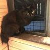 半長毛の黒猫 女の子 モジャちゃん 1歳 サムネイル2