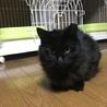 半長毛の黒猫 女の子 モジャちゃん 1歳 サムネイル3