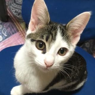 2.5ヶ月キジ白スリムな美形猫ちゃん