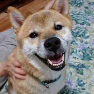 スマイル王子 とても聡明な柴犬です