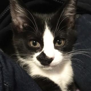 2.5ヶ月黒白ふわふわもちもち可愛いオス猫