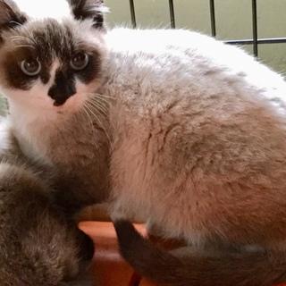 シャム似の可愛い子猫no.2