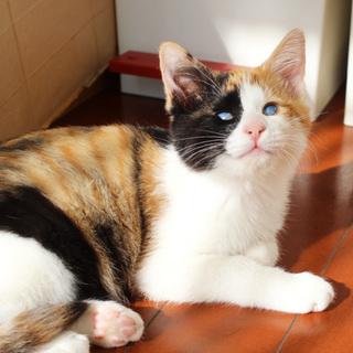 目が見えなくても元気いっぱい☆三毛子猫ちゃこちゃん