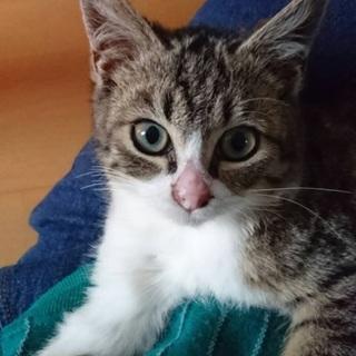 ◆釧路市内限定◆仔猫・女の子◆ショコラ◆