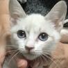 透き通るような青い瞳のシャム系女の子