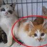 半長毛茶白メス美猫です