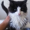 2ヶ月半長毛オス美猫です