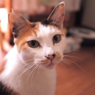 1歳美猫の三毛猫さん、ナデナデ大好き