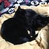 半長毛の黒猫 女の子 モジャちゃん 1歳 サムネイル5