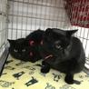 半長毛の黒猫 女の子 モジャちゃん 1歳 サムネイル6